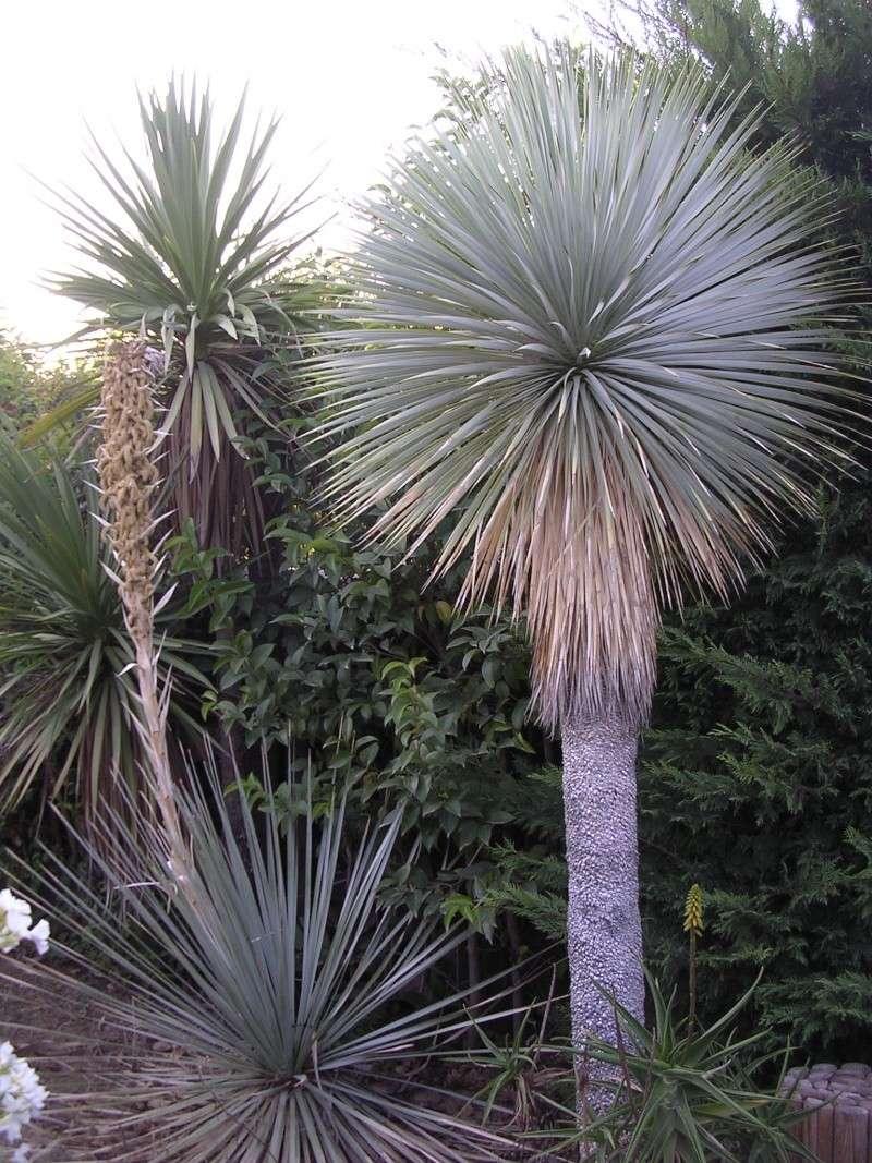Esp ces de yucca que vous cultivez for Yucca exterieur