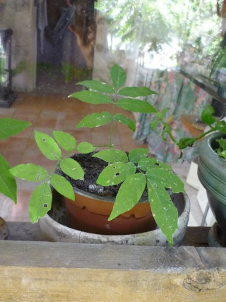 Semis de glycine au jardin forum de jardinage - Graine de glycine ...