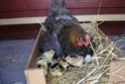 l'incubation naturelle