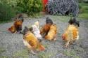 race de poules