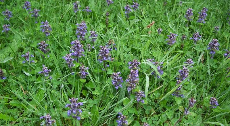 Mauvaise herbe rampante affordable mauvaise herbe crot toujours with mauvaise herbe rampante - Identifier mauvaise herbe gazon ...