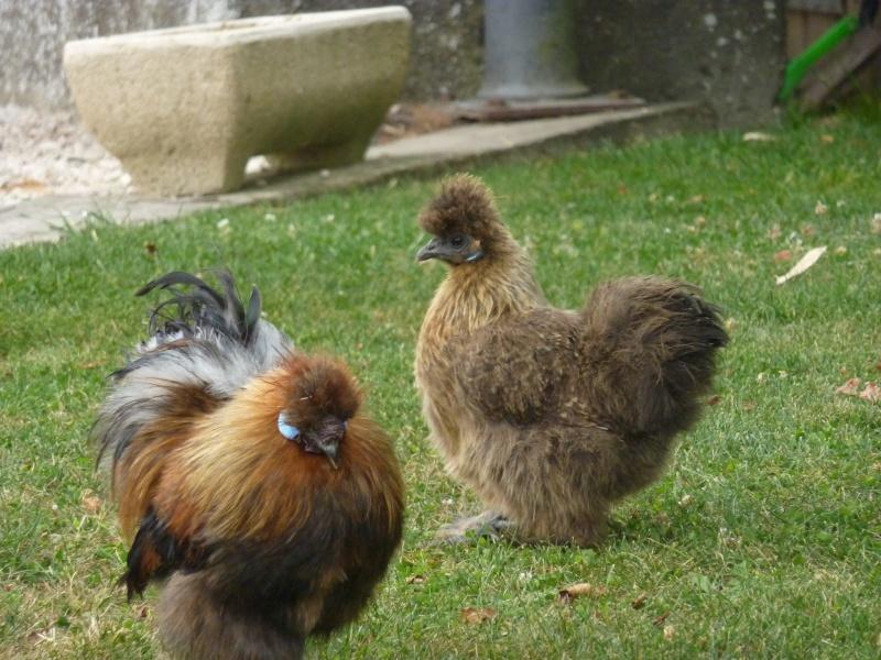 poule soie neufvy sur aronde