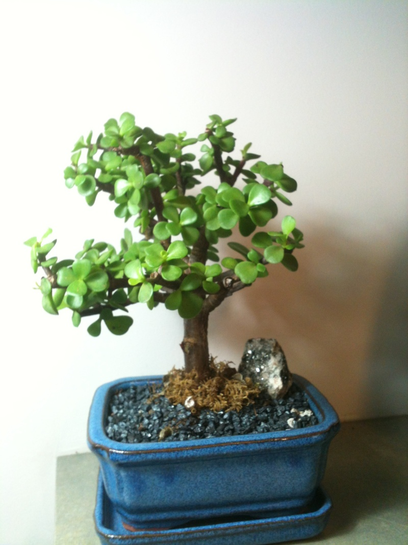 my mini jade bonsai portulacaria afra. Black Bedroom Furniture Sets. Home Design Ideas
