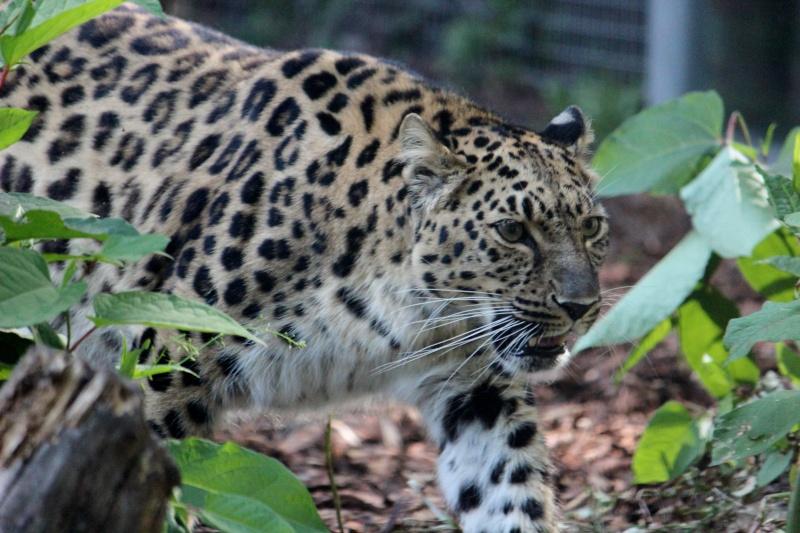 Amur Leopard - Page 21